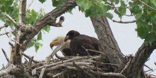 Bald Eagle Mom and eaglet small by Carol Vogel