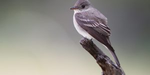 Birds 483 Cordilleran flycatcher