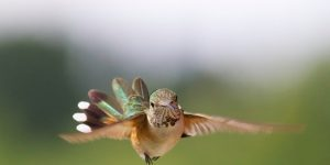 Rufous Hummingbird 10 by Dick Vogel
