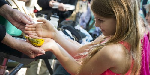 Yellow Warbler & Girl - Paul Petzke Audubon Society Volunteer