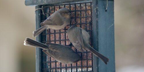 3 bushtits at feeders