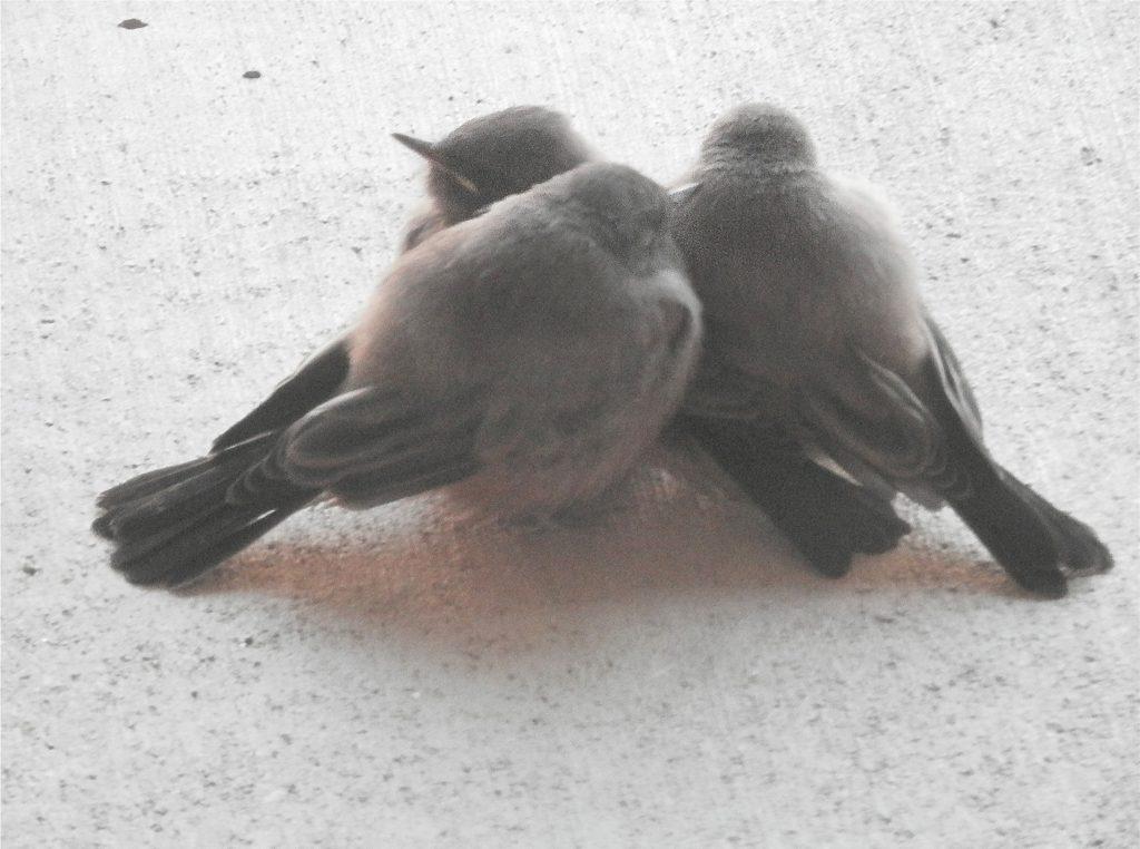 Three fledgling Say's Phoebes