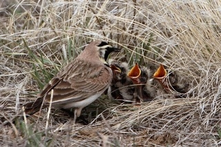 Adult Horned Lark feeding a nest full of babies