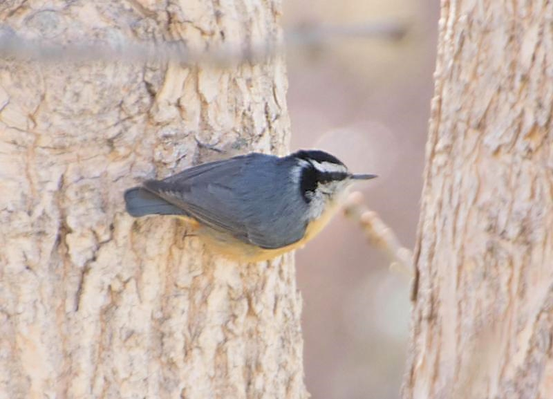 Red-breasted nuthatch perched on a tree