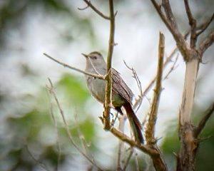Gray Catbird in tree