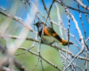 American Redstart in branches