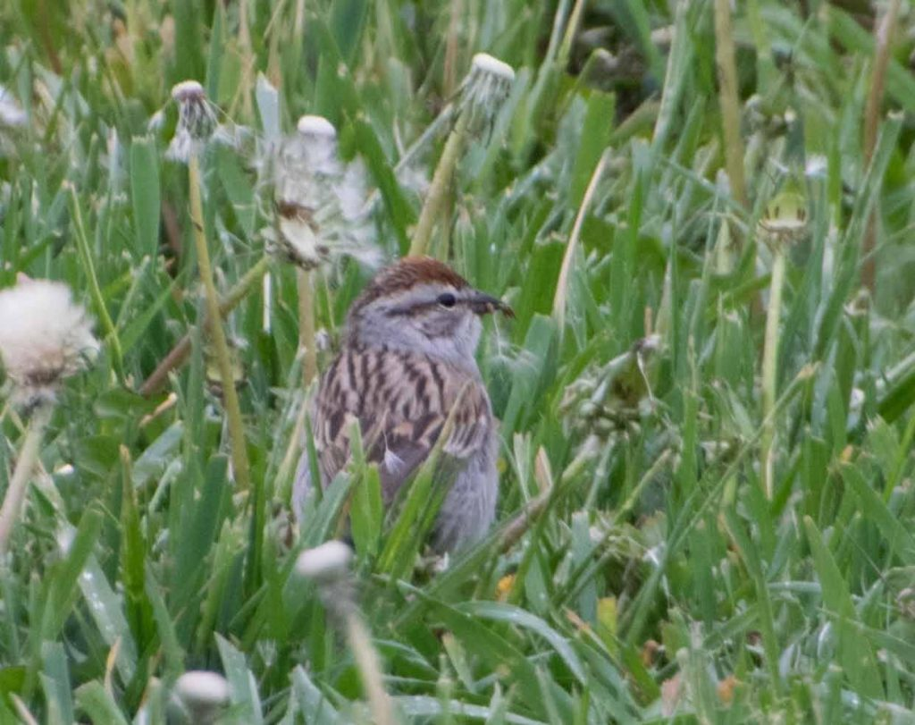 A chipping sparrow standing in grass