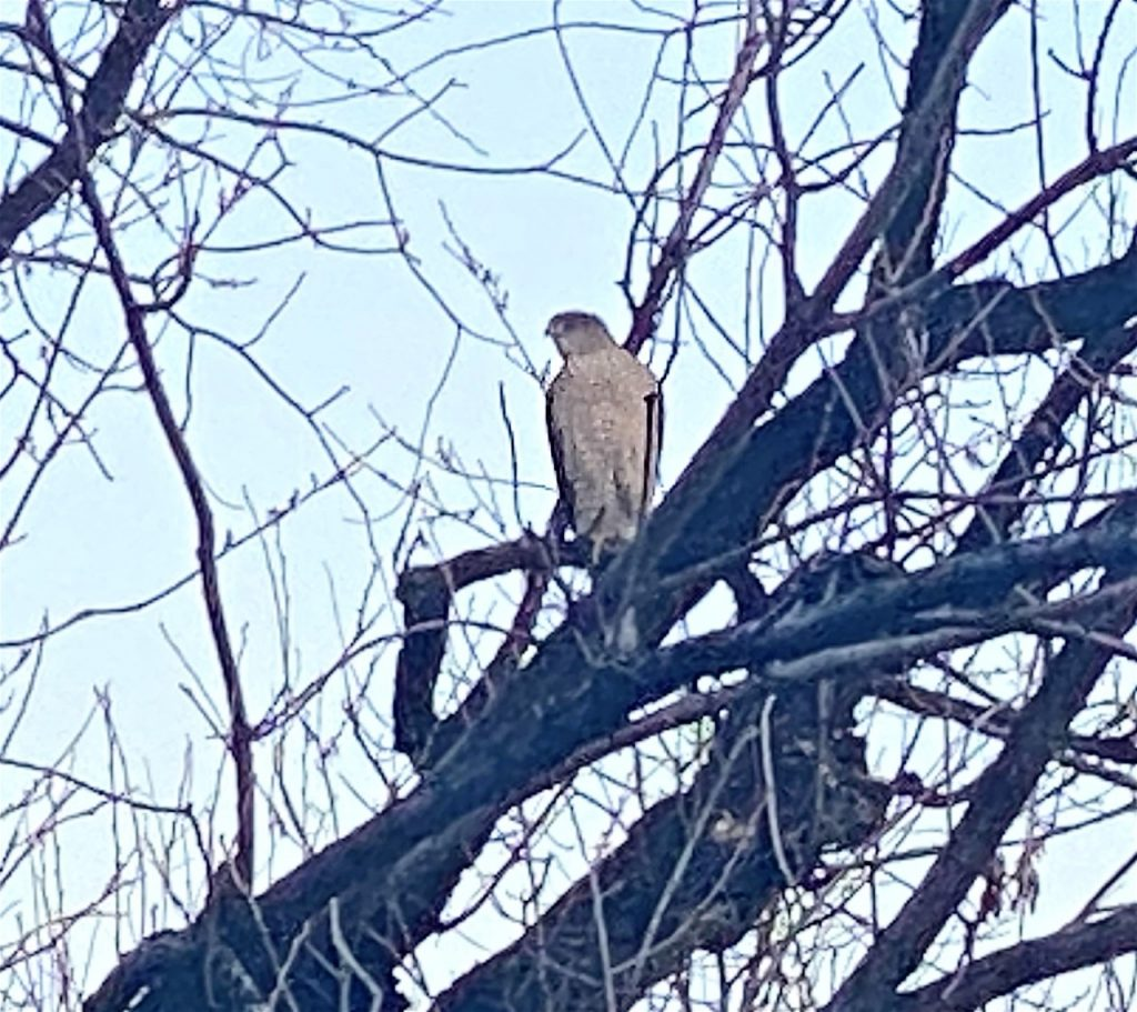 Cooper's hawk perched in a leafless tree