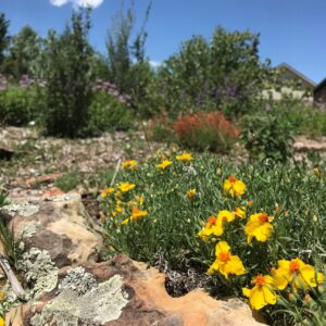 Prairie Zinnia in bloom
