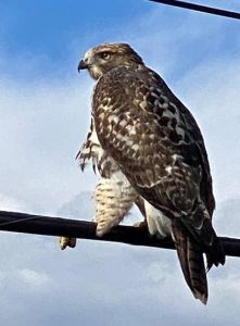 Juvenile Red-Tailed Hawk sitting on an electrical wire