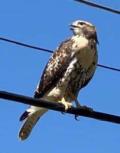 Juvenile red-tailed hawk sitting on an electrical wire, facing the camera