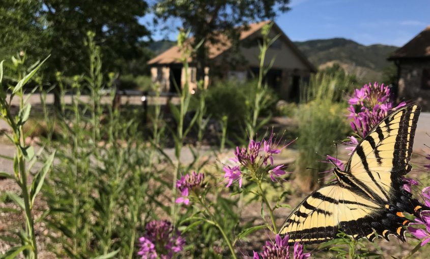 Tiger swallowtail flying with plants and building in background