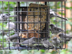 Multiple bushtits at a suet feeder