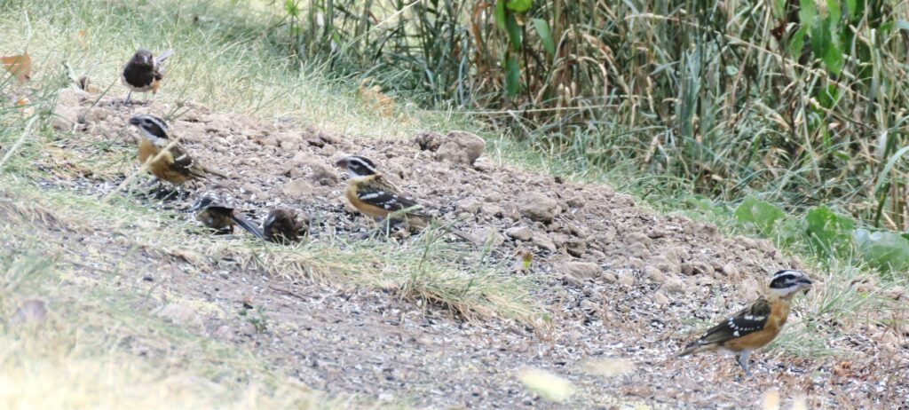 Juvenile Black-headed Grosbeaks and Spotted Towhees together in the grass.