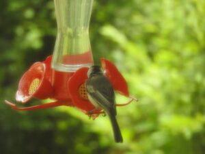 Chickadee siting on a hummingbird feeder