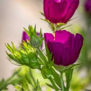 Winecup Mallow (Callirhoe involucrate)
