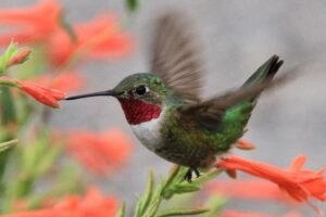 Broad-tailed Hummingbird feeding from a flower