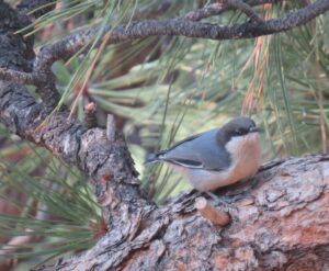 Pigmy Nuthatch perched on a pine branch