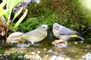 Orange-Crowned and Virginia's Warblers together in waterfall