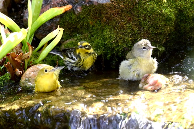 Wilson's, Townsend's and Orange-Crowned Warblers at a waterfall