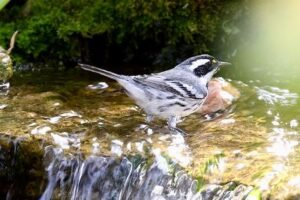 Black-throated Gray Warbler standing in shallow waterfall