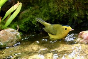 WIlson's Warbler in waterfall