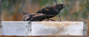 two red-winged blackbirds on a platform feeder