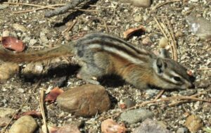 Chipmunk on rocky ground