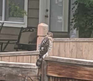 Sharp-shinned hawk on wood post