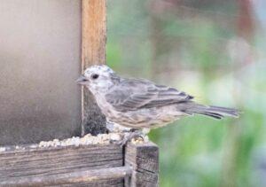 leucistic (white-headed) house finch