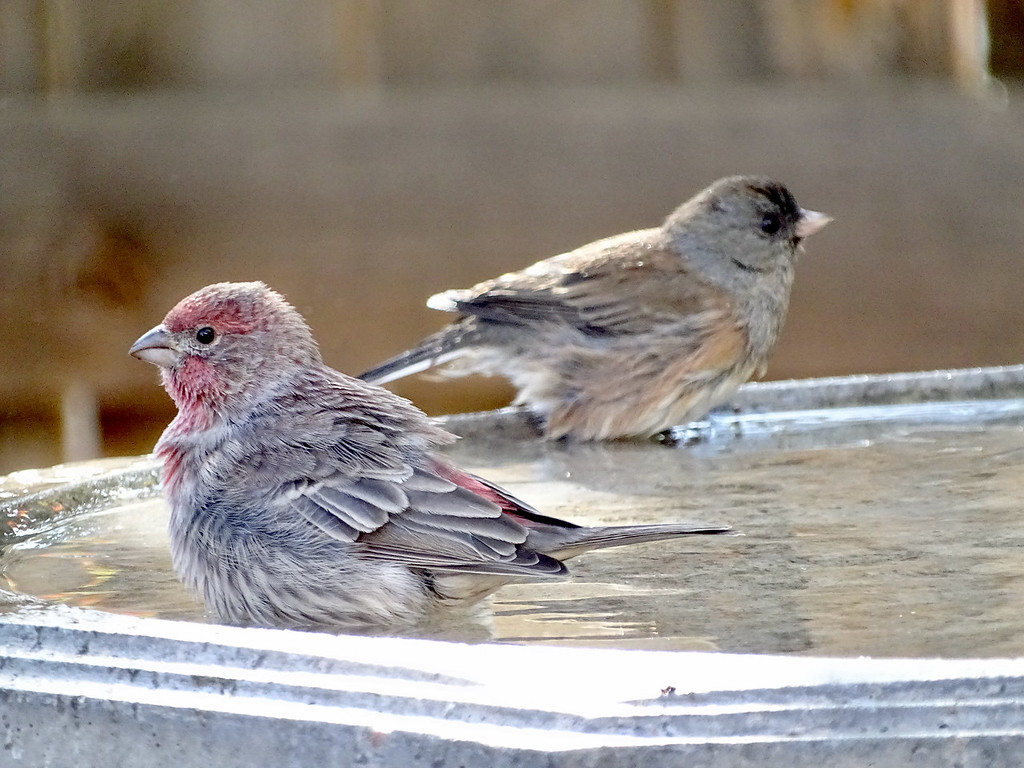 House finch and Junco in a bird bath