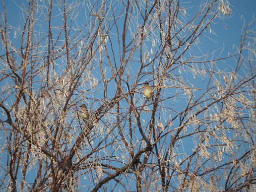 Cedar Waxwings perched in Russian Olive Trees
