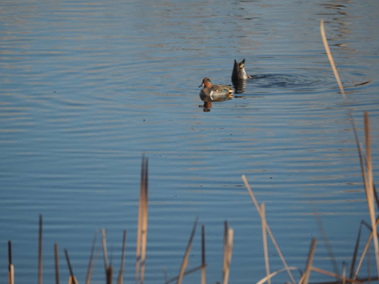 A pair of Green-winged Teals at Duck Pond