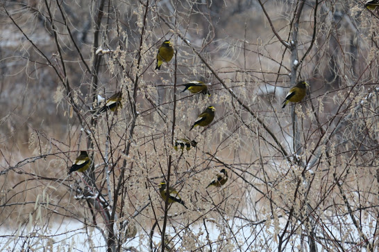 A flock of Evening Grosbeaks perched in Russian Olive trees