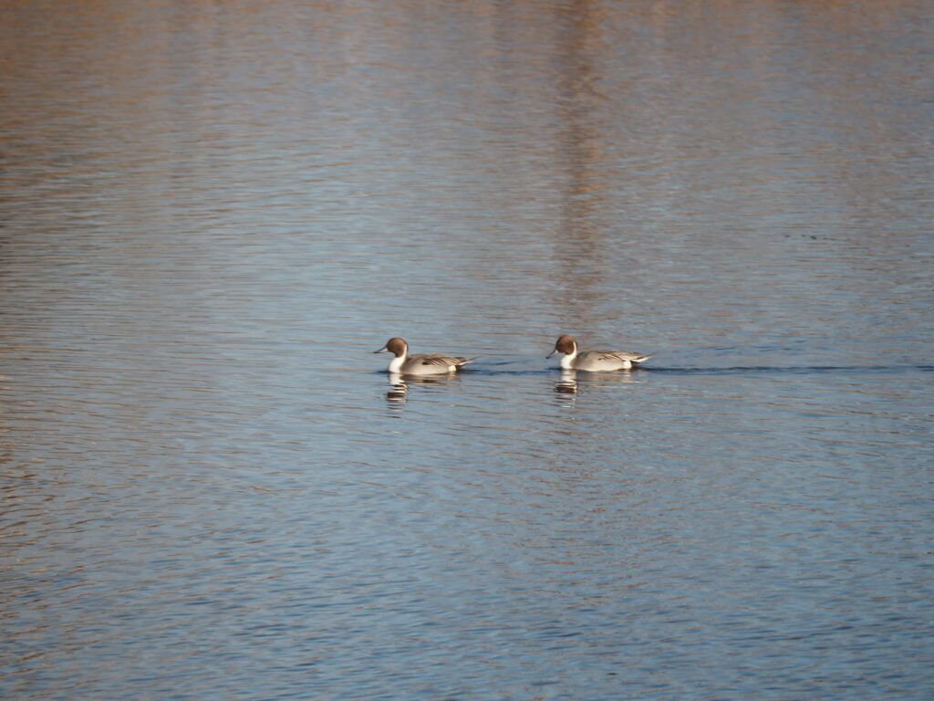 A pair of Northern Pintail Ducks swimming at Duck Pond