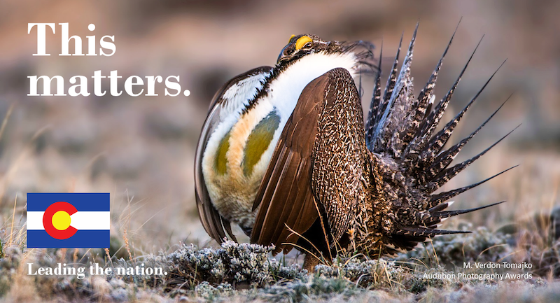 picture of Gunnison Sage Grouse