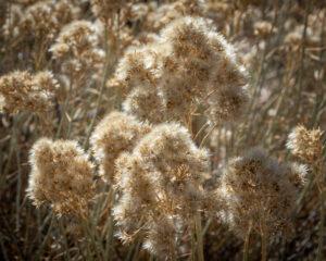 Rabbit Brush gone to seed (Ericameria nauseosa)