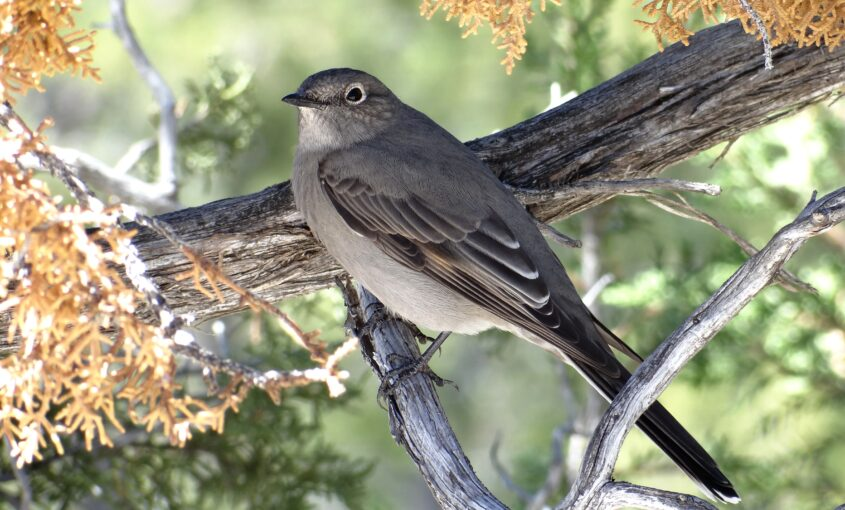 Townsend's Solitaire on tree branch