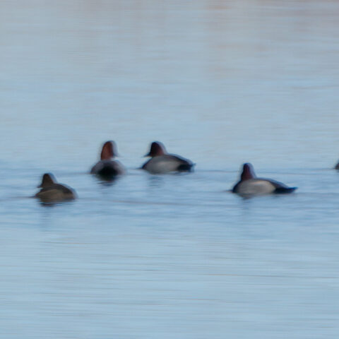 Postulated Redhead ducks (Aythya americana)