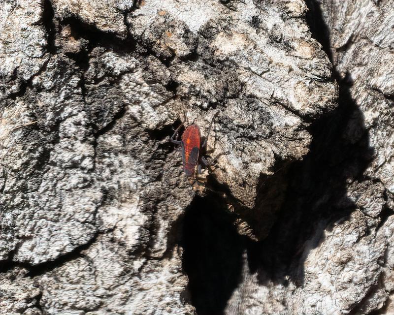 Eastern Boxelder Bug. (Boisea trivittata)