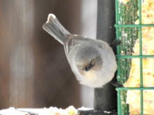 Bushtit on suet feeder
