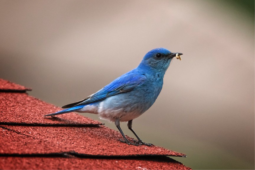 Mountain Bluebird carrying an insect