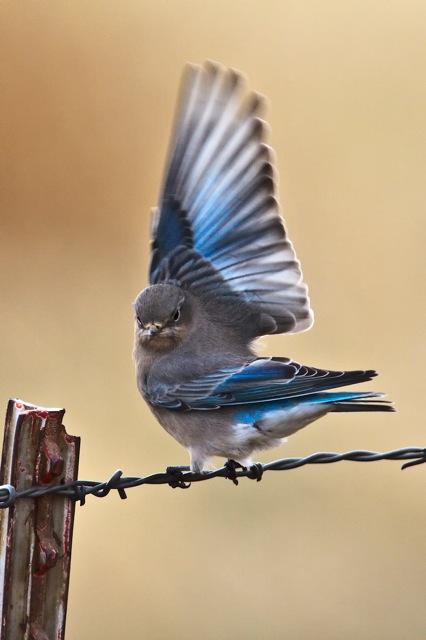 Mountain Bluebird on wire