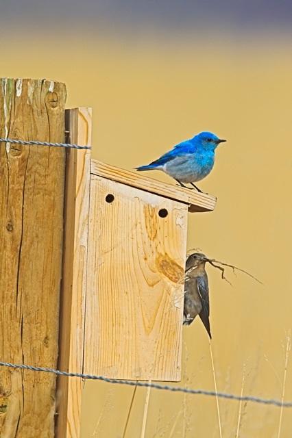 Mountain Bluebird on nest box