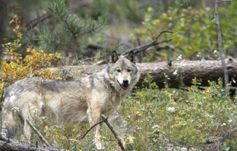 Gray Wolf in Santuary