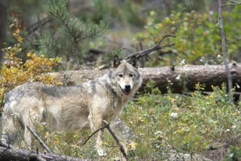 Gray Wolf in Santuary
