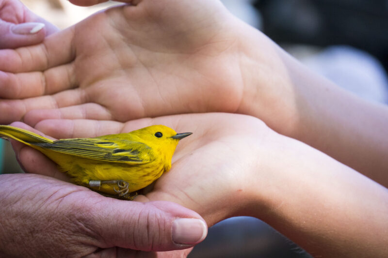 Yellow Warbler and Hands