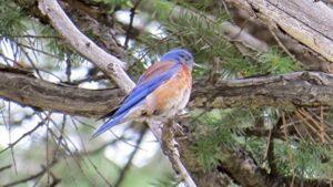 Western Bluebird in pine gree