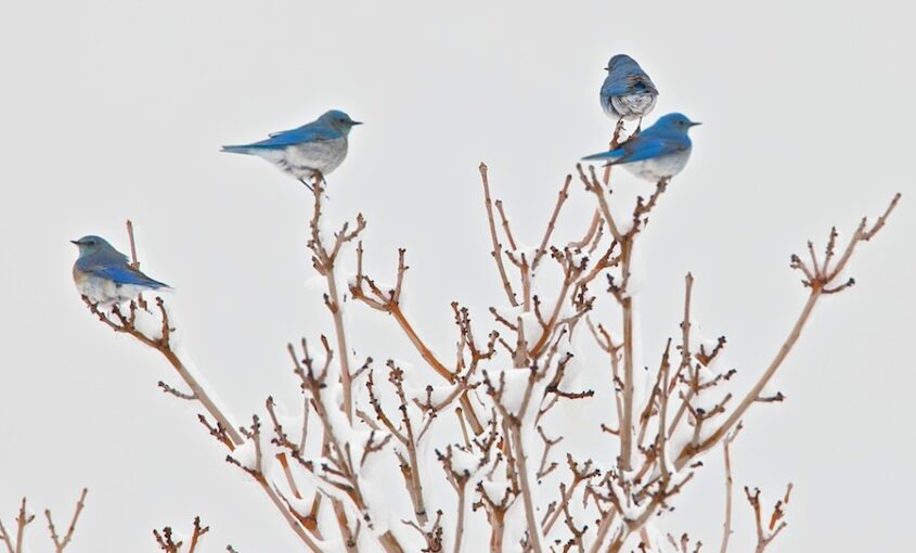Mountain bluebirds perched in a tree