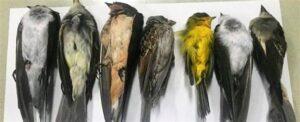 Dead songbirds